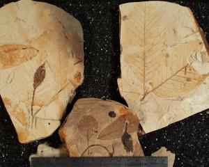 Clarkia Fossils